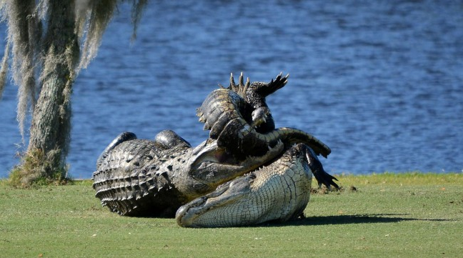 This is why you don't want to mess with Goliath, our favorite 15-foot gator | Golf Digest